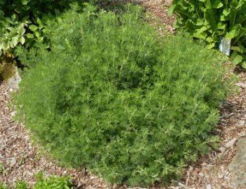 Artemisia_abrotanum_J1