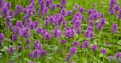 Vindecea-Stachys officinalis....
