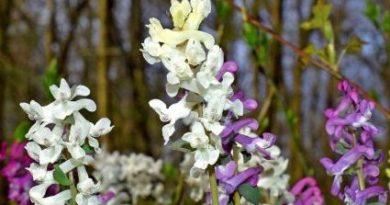 brebenel-flori