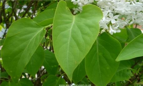 lilac-white-leaf