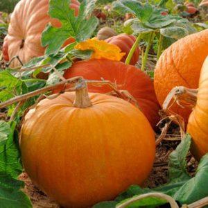 120710-pumpkins_2014102807