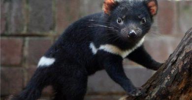 tasmanian-devil-large_transqvzuuqpflyliwib6ntmjwfsvwez_ven7c6bhu2jjnt8