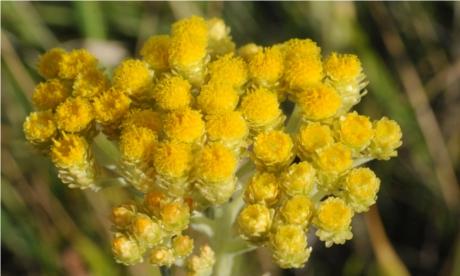 Helichrysum arenarium 2 S Nyhamnsläge, Brunnby Sk 120829