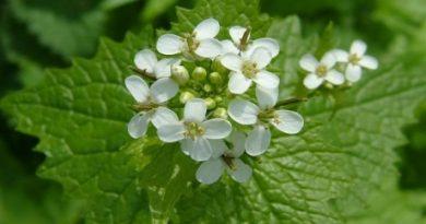 alliaria_petiolata_garlic_mustard_00_flowers_02-05-04