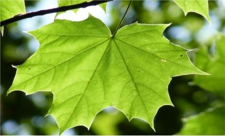 tratament articular cu frunze galbene de arțar)