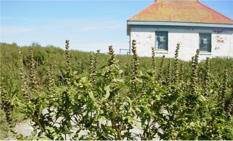 ambrosia-artemisiifolia-ha-gmittelhauser-c