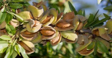 Seminţele de migdal, bune în ulcer, tuse şi diabet