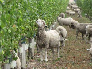 54e9d25ca5f31_-_cl-vineyard1-de
