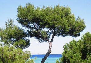 Maritime-Pine