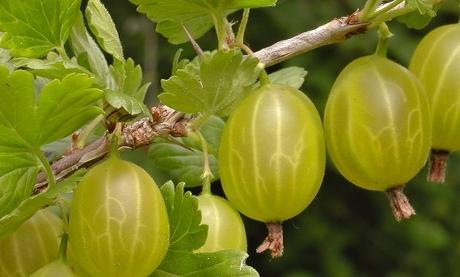 gooseberry closeup