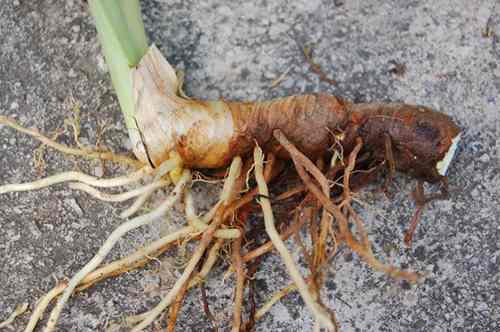 cattail-rhizome_root